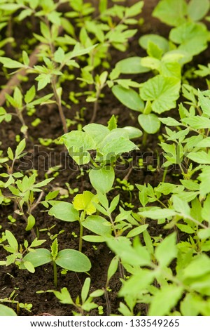 Seedling cucumber in hotbed - stock photo