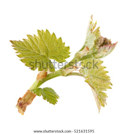 Seedling grape with leaf isolated on white background