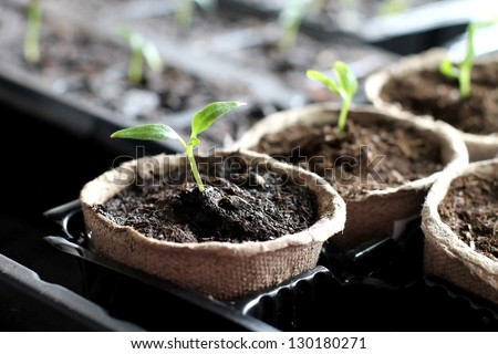 Seedling   grow indoor - stock photo