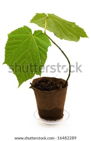 Seedling maple in turf-muck block