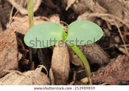 seedling of a sunflower growing out of soil - stock photo