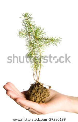 Seedling of fir in human hand - stock photo