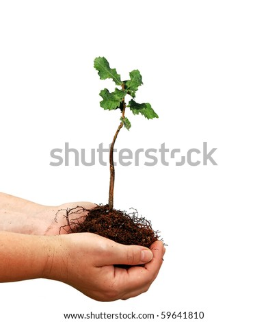 Seedling of oak and human hands - stock photo
