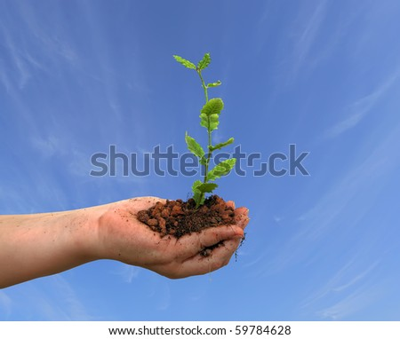 Seedling of oak and human hands on the blue sky background - stock photo