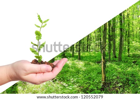 Seedling of oak in human hand and green forest landscape background - forest recreation and environment protection concept - stock photo