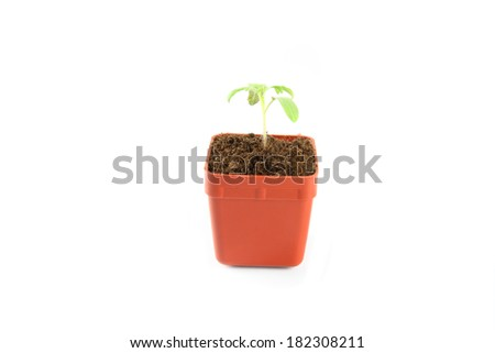 Seedling of plant of young tomato in flowerpot on white background. - stock photo