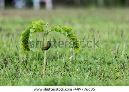 seedling of Tamarind, Indian date, young tree of  Tamarind. - stock photo