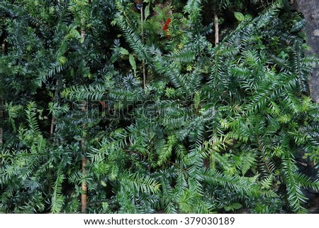 seedling of taxus sumatrana from Indonesia, Agriculture , Seeding , Seedling , Male hand watering young tree over green background ,seed planting