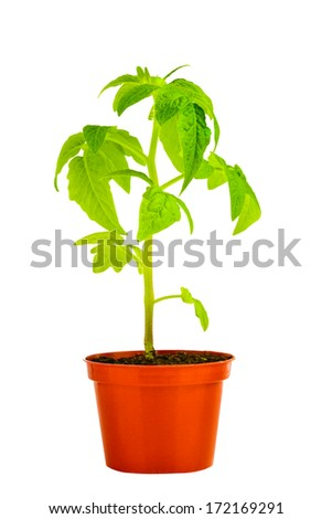 seedling of young tomato plant in flowerpot is isolated on white background - stock photo