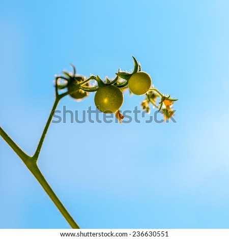 seedling plant of young tomato on blue sky background, closeup  - stock photo