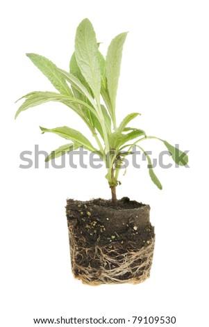 Seedling plug plant isolated against white - stock photo