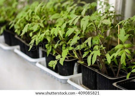 seedling tomato in small pots which stand in a row.