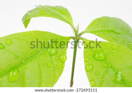 seedling with water drops (little red oak) - stock photo