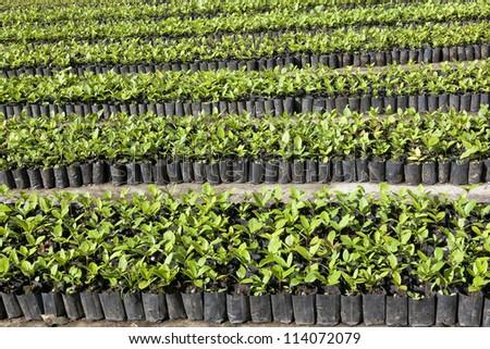 Seedlings flower in a black tray - stock photo