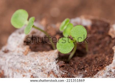 Seedlings growing in a peat moss pellet in spring - stock photo