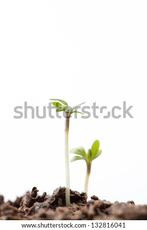 Seedlings in dirt on white background