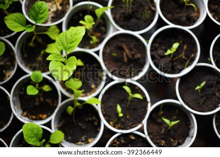 Seedlings in pots. Spring seedlings sprouting. Shallow depth of field. Selective focus on the largest leaf. Top view. - stock photo