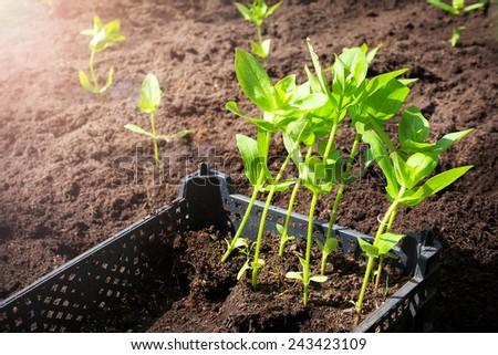seedlings in the garden - stock photo