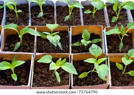 seedlings of bell pepper in cardboard boxes, near a window - stock photo
