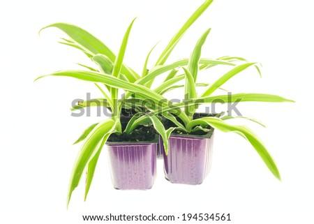Seedlings of chlorophytum isolated on white background - stock photo