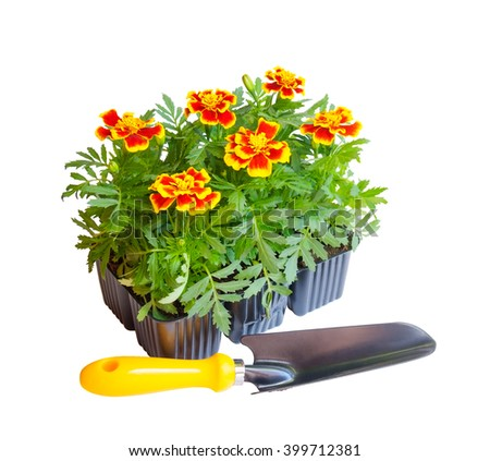 Seedlings of marigolds and shovel isolated on white - stock photo