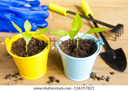 Seedlings of  on a wooden surface (background). Gardening and spring concept.