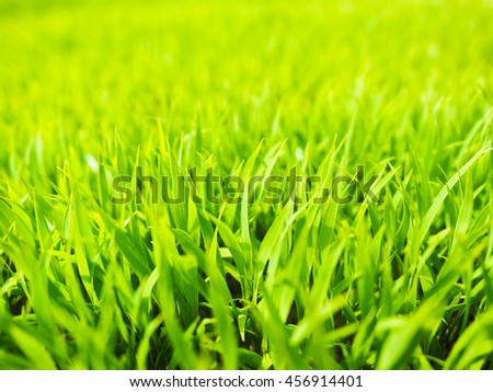 Seedlings of rice