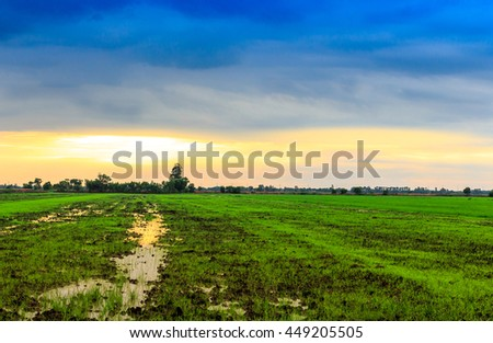 Seedlings of rice paddy in green - stock photo