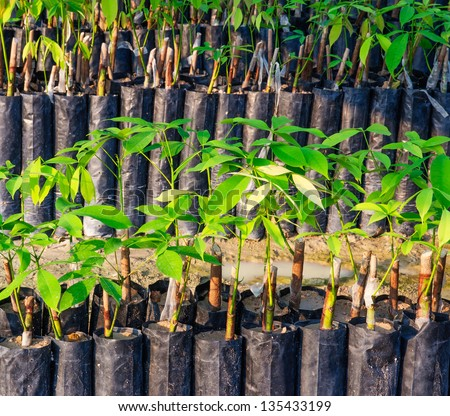Seedlings of rubber trees on a plantation in Thailand - stock photo