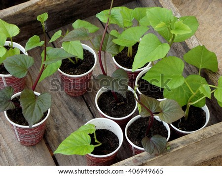 Seedlings of sweet potatoes