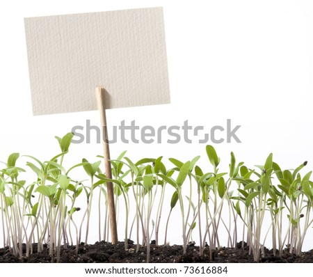 seedlings of tomato and pointer class - stock photo