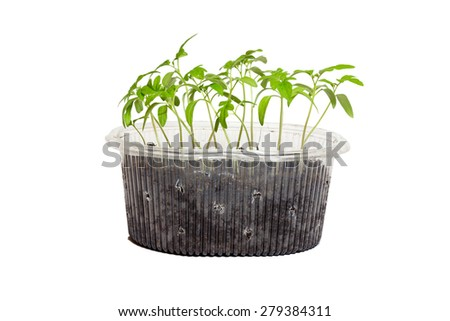 Seedlings of tomatoes in the box. Isolated object.  White background - stock photo