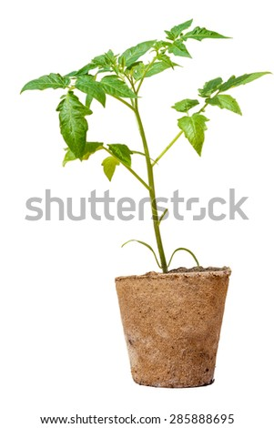Seedlings of tomatoes in the peat pot. Isolated object.  White background - stock photo