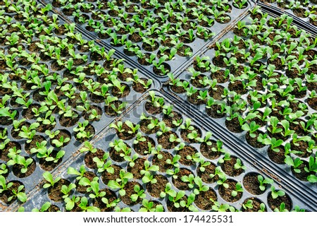 Seedlings of vegetables to prepare for planting. - stock photo