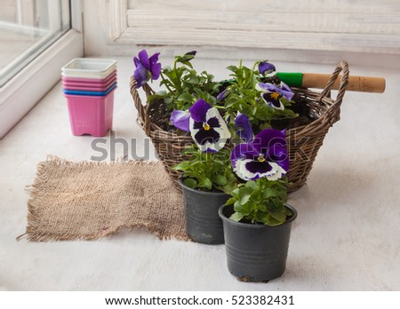 Seedlings pansies in a basket in the pot next to the garden with a shovel