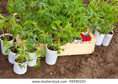 Seedlings tomato in pots over ground