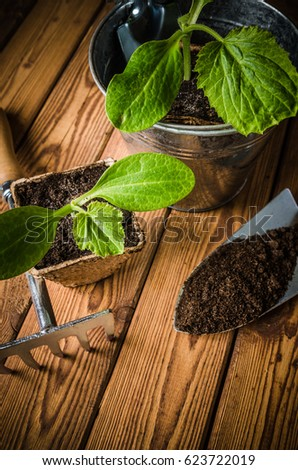 Seedlings zucchini and garden tools on a wooden surface, Spring time