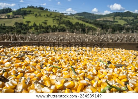 Seeds and Corn field in Parana State, Brazil - stock photo
