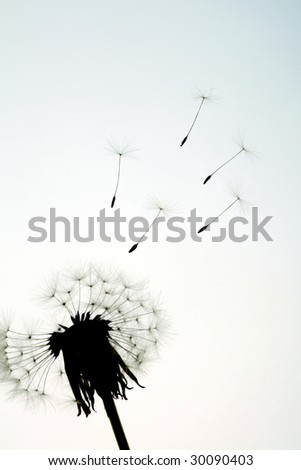 seeds flying away from a dandelion - stock photo