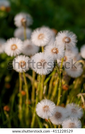 Seeds of Coltsfoot, dandelion mother and stepmother. (Tussilago farfara) Selective focus. - stock photo