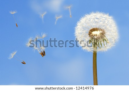 Seeds of dandelion flying in wind on bright blue sky.