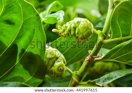 Seeds of medicinal plants and Rad Ant teamwork on Green leaf  .Noni or Morinda Citrifolia, great morinda, Indian mulberry or cheese fruit on Tree.Herb complementary alternative medicine, CAM - stock photo