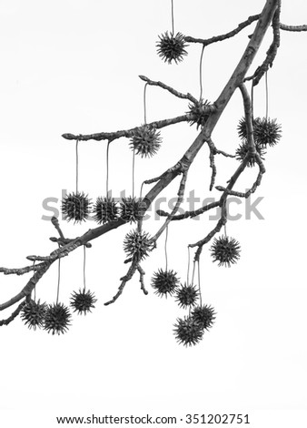Seeds of sycamore leaf isolated on white background - stock photo
