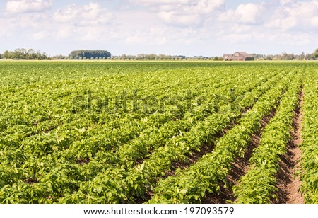 Seemingly endless rows of fresh green young potato or Solanum tuberosum plants on a Dutch field with the farm in the background. - stock photo