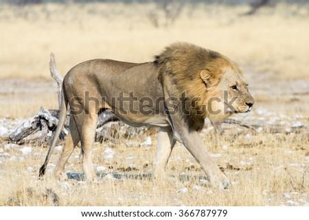 Seen during safari tour at Namibia, Africa. - stock photo