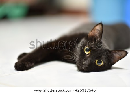 Select focus big yellow eyes of female Black cat. it show interest at photo camera, and Blur background