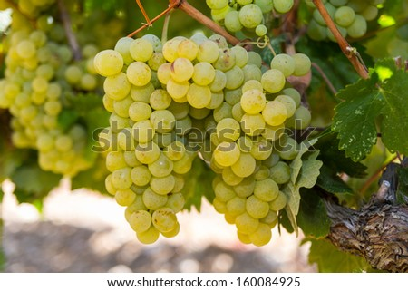 Selected varieties of healthy, ripe and juicy white grapes ready to be harvested. - stock photo