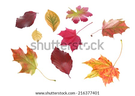 Selection of individual autumn leaves in various shapes and bright colors marking the changing of the seasons isolated on white - stock photo