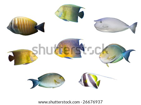 Selection of multicolored tropical fished isolated isolated on white - stock photo