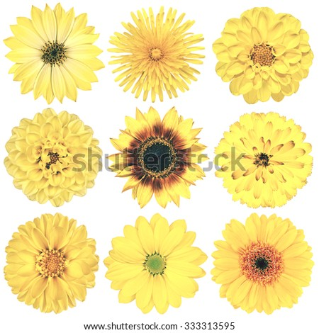 Selection of Various Flowers in Yellow Vintage Retro Style Isolated on White Background. Daisy, Chrystanthemum, Cornflower, Dahlia, Iberis, Primrose, Gerbera, Rose. - stock photo